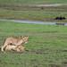 Junglöwen / Lion Cubs