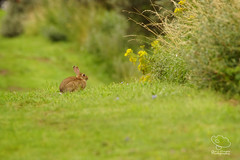 Rabbit up ahead on the path (UK Nature Photography) Tags: rabbit mammal animal nature grass wildflowers green sony a77ii tamron150600 rimac lincolnshire saltfleet saltfleetby