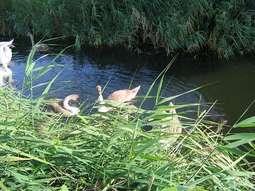 Groupe de jeunes cygnes le long de la Vélodyssée