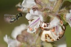 Look out little bee - some of those flowers have claws! (Treebeard) Tags: wildbee anthophila hymenoptera whitebandedcrabspider misumenoidesformosipes thomisidae camouflage nonnative basil ocimumbasilicum lamiaceae garden sanmarcospass santabarbaracounty california