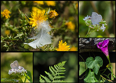 6 agosto 2017, collage (adrianaaprati) Tags: flower flowering fern insects wildlife beauty lightness papillon butterfly summer collage feather