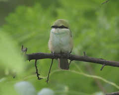 Juvenile Green Bee-eater