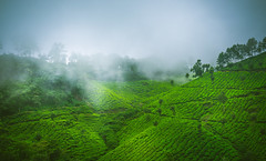Rolling hills of green (Dhina A) Tags: sony a7rii ilce7rm2 a7r2 tamron sp 70200mm f28 di vc usd tamronsp70200mm zoom telephoto lens tea plantations green rolling hills munnar kerala india