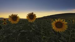 Conversaciones... (explore) (Rafael Díez) Tags: españa castillaleon burgos villafrancamontesdeoca paisaje atardecer filtro girasol rafaeldíez sunset verano