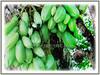 A single tree of Averrhoa bilimbi can often yield many hundreds of fruits (jayjayc) Tags: flickr17 jaycjayc malaysia kualalumpur green floweringplants averrhoabilimbi bilimbi bilimbitree cucumbertree treesorrel belimbingasambulohinmalay perennials tropicalplant fruits flowers