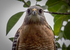 Stuck... (flintframer) Tags: sanibel island florida redshouldered hawk wildlife nature raptors portrait color birds canon t5i ef100400mm