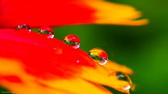 Rain - 3563 (YᗩSᗰIᘉᗴ HᗴᘉS +8 000 000 thx❀) Tags: drop droplets droplet drops macro orange red yellow color flower pétale green vert nature hensyasmine