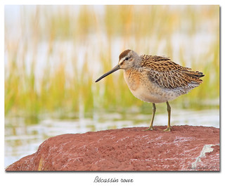 Bécassin roux / Short-Billed Dowitcher 153A8005
