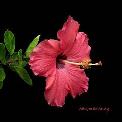 Hibisco/Hibiscus (Altagracia Aristy Sánchez) Tags: hisbisco hibiscus cayena laromana quisqueya repúblicadominicana dominicanrepublic caribe caribbean caraïbe antillas antilles trópico tropic américa fujifilmfinepixhs10 fujifinepixhs10 fujihs10 altagraciaaristyt fondonegro sfondonero blackbackground