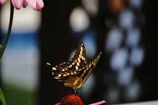 Giant Swallowtail on a coneflower (Explored-my thanks)