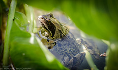 Frog (tommerchant1) Tags: amphibians gardenwildlife garden wildlife nature springwatch wildlifephotography ukwildlife britishwildlife nightlife frog frogs pond pondlife
