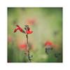 Rojo sobre verde (vivas12) Tags: nikon d3100 flor flower bokeh desenfoque tamron70300vcusd naturaleza nature