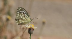 Its Very Tasty... (madhavmallia) Tags: blossom flower spring pollen butterfly blooming yellowflower papillon resting nectar tasty sunnyday