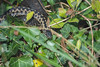 Adult and Juvenile European Adders, Bolderwood, New Forest, Hampshire, UK (rmk2112rmk) Tags: adder bolderwood newforest hampshire uk snake reptile vipera berus viper