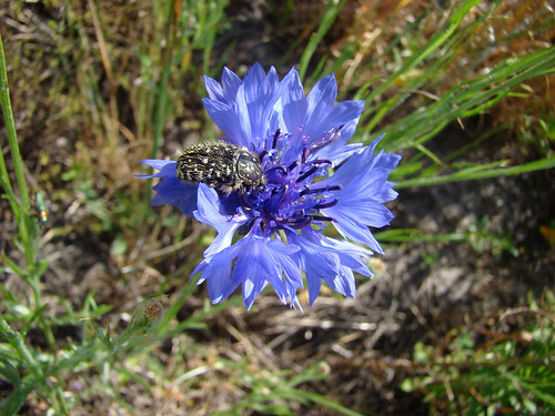 Cetoine Grise Sur Fleur De Nigelle De Damas A Photo On Flickriver