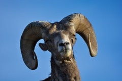 Say cheese (Adam Wang) Tags: bighorn sheep wildlife animal nature portrait
