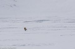 Arctic Fox (Vulpes lagopus) (Mark Carmody) Tags: 79degreesnorth arcticfox imagesbymarkcarmody lindbladexpeditions markcarmodyphotography markcarmody nationalgeographicexplorer nationalgeographic carmo carmopolice carmopolis carmody fox glacier hornsund ice landscape mark norway norwegian seascape small snow svalbard arctic icescape mammal markcarmodyphotographycom natgeoexpeditions natgeotravel polar winter mc7d7072 vulpes lagopus vulpeslagopus canon arcticcircle lilliehöökbreen spitzbergen albertiland lilliehöökfjorden