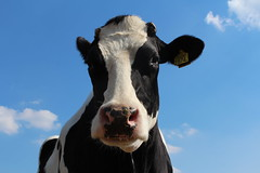 Night Fly (excellentzebu1050) Tags: dairycows livestock cow cattle closeup farm outdoor animal animalportraits coth5