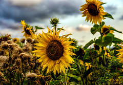 August yellow (Joni Mansikka) Tags: nature summer outdoor field sunflowers yellow petals green leaves dark clouds flowers plants rural paimio suomi suomi100 finland finland100 tamronspaf1750mmf28xrdiiildasphericalif