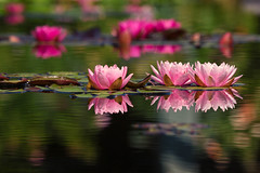 Water Lilies (mclcbooks) Tags: flower flowers floral waterlily waterlilies lilypad lilypads water reflections bokeh denverbotanicgardens colorado