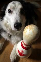 Pin spotting. (CarusoPhoto) Tags: window light natural 0plus 7 iouone pin bowling portrait dog carusophoto caruso john dexter