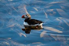 puffin de bañera (barragan1941) Tags: aves fauna frailecillo islandia puffin
