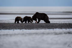 Brown Bear Family Breakfast *in explore* (Glatz Nature Photography) Tags: alaska coastalalaska lakeclarknationalpark usnationalparks northamerica brownbear motherandbabyanimals animalfamilies coastalbrownbear ursusarctos bearcubs wildanimal wildlife thecookinlet salmonrun silhouette explore inexplore