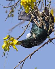IMGP1471 Tui feeding on Kowhai nectar Porirua 27-08-17 (Donald Laing) Tags: new zealand porirua tui native birds kowhai trees nectar feeders donald laing