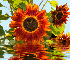 Dipped Sunflowers (Mimi Ditchie) Tags: sunflower sunflowers water reflections flood flowers flower backlit backlight
