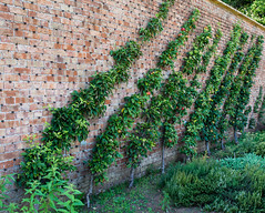 The only way is up (wi-fli) Tags: tyntesfield england unitedkingdom apples wall trained horticulture kitchengarden kitchen ripe juicy fruit fruity pink green