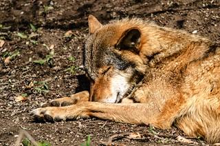 Wolf - schlafend in der Sonne
