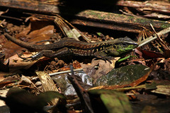 Central American Ameiva (Holcosus festivus) (Scott Olmstead) Tags: herps herpetology nature naturaleza tropical reptiles reptilios ameivafestiva whiptail