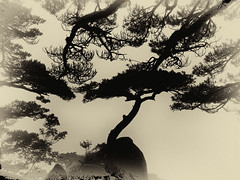Chine - Dans les monts Huang Shan. (Gilles Daligand) Tags: chine china anhui huangshan montagnejaune pins arbres pinetrees brouillard frog contrejour ombres sepia monochrome panasonic gx7 pinustaiwanensis