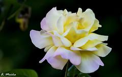 One of the garden queens. Una de las reinas del jardín (A. Muiña) Tags: flor flowers airelibre freshair rosa pink yellow amarillo bokeh desenfoque macrofotografía naturaleza nature nikon nikond800 macro garden jardín decoración