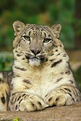 Aw, you are so kind (Setsukoh) Tags: snowleopard once pantherauncia léoparddesneiges léopard leopard fauve félin bigcat portrait pose expression look regard animal mammal mammifère zoo zoodamnéville mosel moselle lorraine lothringen france frankreich grandest canon7d