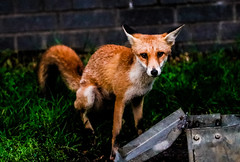 do you mind! (I was blind now I see!) Tags: fox foxy animals mammals wild nature