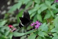 シロオビアゲハ (yuki_alm_misa) Tags: シロオビアゲハ 蝶 チヨウ 多摩動物公園 butterfly 蝶々 zoo 動物園 tamazoologicalpark