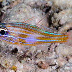 Wassinki Cardinalfish with night colors - Ostorhinchus wassinki thumbnail