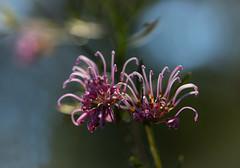 Wonder why they're called spider grevilleas... (Jutta Sund) Tags: spider grevillea nationalpark dof nature wildflower australia spring pink