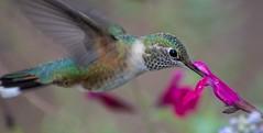 DSC_1177 (Kerstin Winters Photography) Tags: sigma d5500 newmexico albuquerque colors flora fauna outdoor blumen flower flickrnature flickr closeup naturephotography natur nahaufnahme nature naturfotografie macro kolibri vogel bird hummingbirds