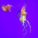 DSC08923 - Jelly Fish