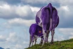 Vache suisse ... ??? (bertranddorel) Tags: violet couleur vache veau montagne color nature balkans slovénie landscape nuages chocolat suisse animal faune milka