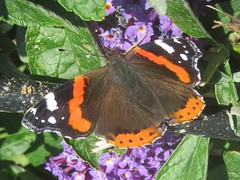 Braving the elements (billnbenj) Tags: barrow cumbria butterfly redadmiral buddleia