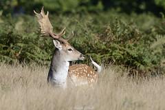 Bright Eyed And Swooshy Tailed (Ralph J Clark) Tags: fallowdeer buck autumn bushypark nikon200500mmf56