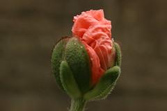 September poppy (AngharadW) Tags: waterdroplet droplet water outdoor bokeh dof angharadw petals sepals macro grey green red pink poppy flower