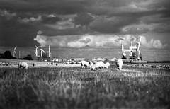 Brunsbüttel IV: Industrie und Schafe (Etzadle) Tags: brunsbüttel schafe rodinal exaktavarexiib industrie küste elbe unterelbe schleswigholstein himmel ilford hp5