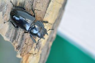 漆黑鹿角鍬形蟲 Pseudorhaetus sinicus concolor