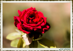 IMG_4265_Rose (Ajax_pt/Zecaetano) Tags: redrose rosavermelha rosas canon7d tamron70200