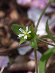 ミミナグサ (nofrills) Tags: white whiteflowers whiteandgreen green weed weeds tiny roadside ミミナグサ chickweed
