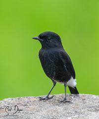 DSC_2517 (@sumitdhuper) Tags: wallshare nature bird black pied bushchat male